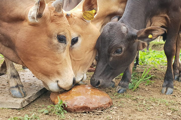 Cows eating 1.2
